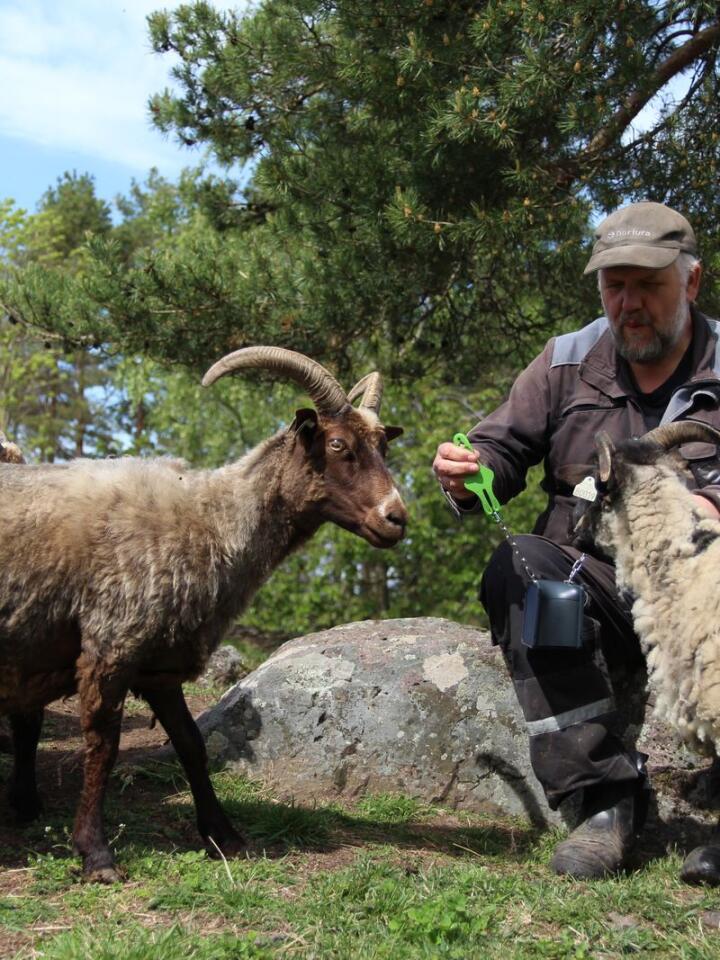 TIDLIG UTE: Preben Fossaas er sauebonde fra Våle i Tønsberg. Han er beitekoordinator for Færder Nasjonalpark og tok i fjor i bruk det virtuelle gjerdesystemet Nofence på sauene sine.