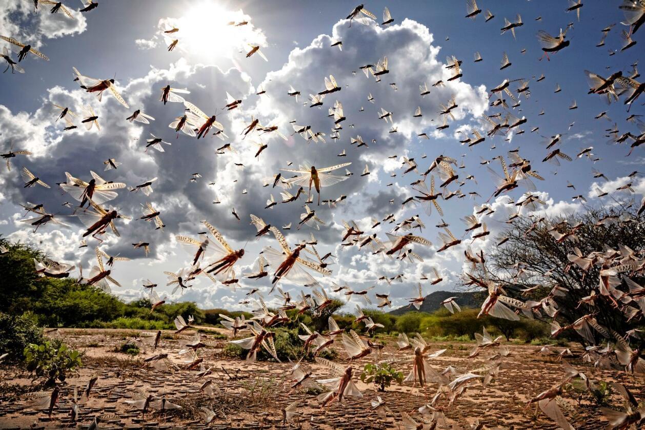 Ein sverm av ørkengrashopper i Kipsing, Kenya. Det er den andre, store grashoppebylgja på nokre veker. Foto: Sven Torfinn / FAO / AP / NTB scanpix