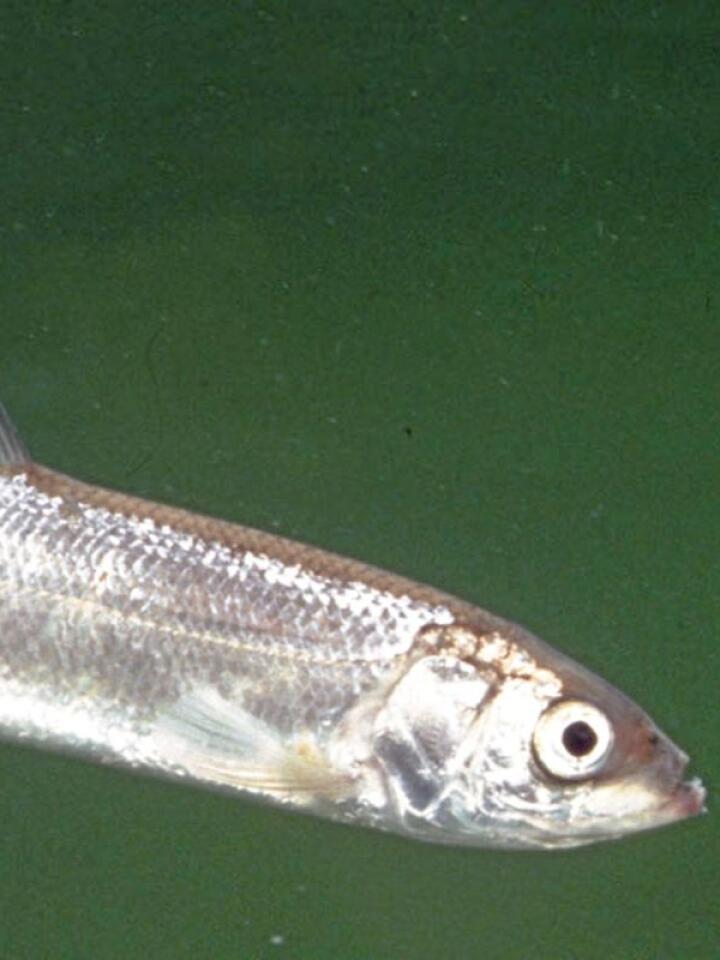 Lågåsilda er en liten laksefisk i sikslekta. Den var en sen østlig innvandrer til Norge etter siste istid og har et naturlig utbredelsesområde bare i det sentrale Østlandsområdet, blant annet i Mjøsa. Lågåsilda er den mest spesialiserte plankton-spiseren blant våre ferskvannsfisker og den er en viktig byttefisk for storørreten i Mjøsa. Foto: Arild Hagen