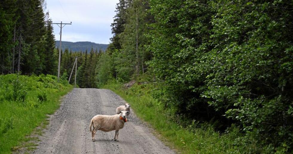 Hva er i veien?: Et klassisk motiv fra Sommer-Norge. Søye med to lam som ferdes og beiter i utmark. Når høsten kommer er de to smårollingene blitt lubne og fine, perfekt råvare for høstens fårikål og pinnekjøtt. Eller kanskje de havner på fryselager? Foto: Per A. Borglund