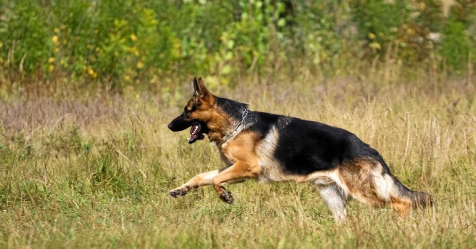 Den mye omtalte hundesykdommen skal ikke være smittsom, mener Mattilsynet. Illustrasjonsfoto: Colourbox