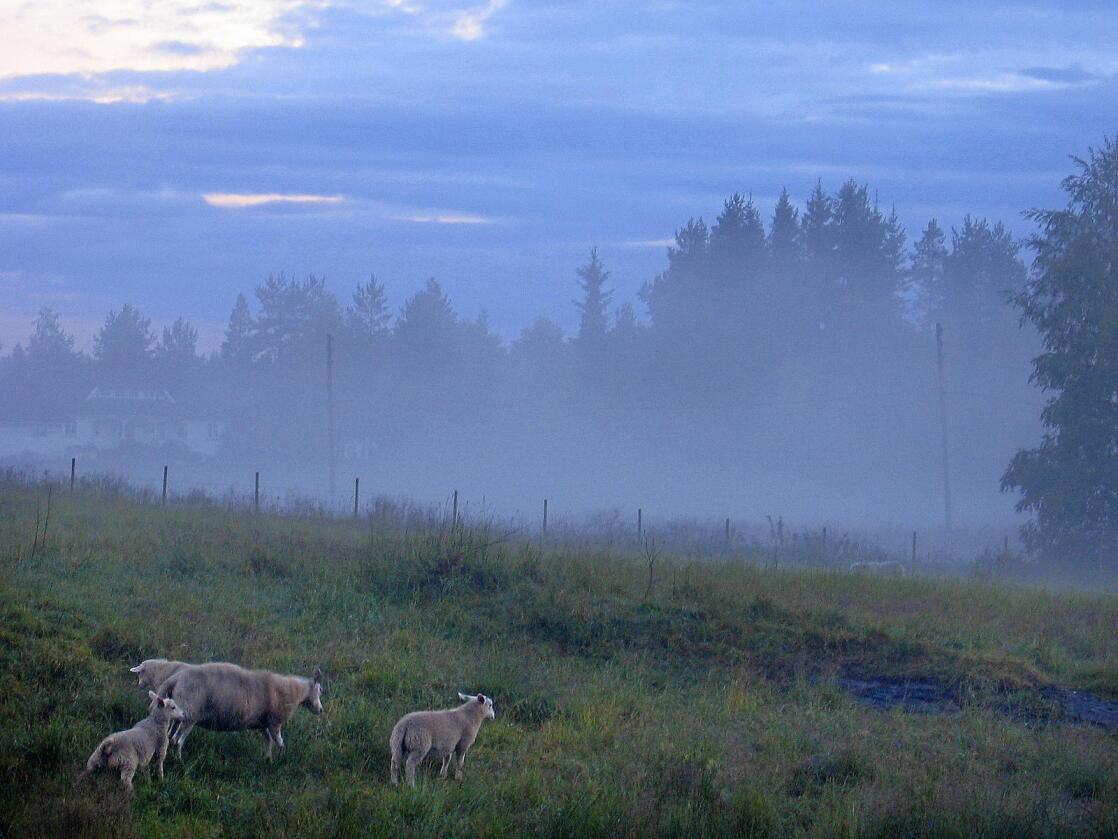 Nytenkning: Metodene for sauehold i Norge har vært relativt uendrete de siste 100–150 år, skriver kronikkforfatteren. Foto: Håkon Mosvold Larsen/NTB scanpix