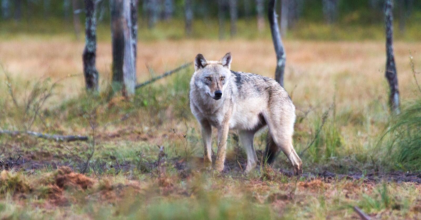 Kostnader: Som ledere for de fylkeslagene av Norges Bondelag som ligger i ulvesona, ønsker vi å peke på kostnadene som ulveforvaltninga fører med seg, skriver forfatterne av kronikken. Foto: Mostphotos