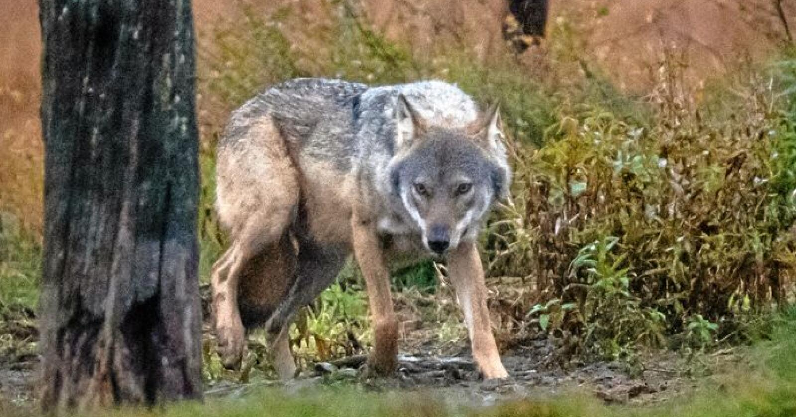Det er gitt fellingstillatelse på en ulv i Meråker og Verdal kommuner i Trøndelag. Illustrasjonsfoto: Mostphotos