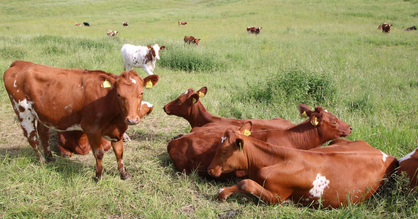 Slutningen om at drøvtyggerne er landbrukets store klimaproblem, er grovt urimelig mot både bonden og drøvtyggerne, mener Rose Bergslid og Arnar Lyche. Her sees storfe på norsk beite. Foto: Karl Erik Berge