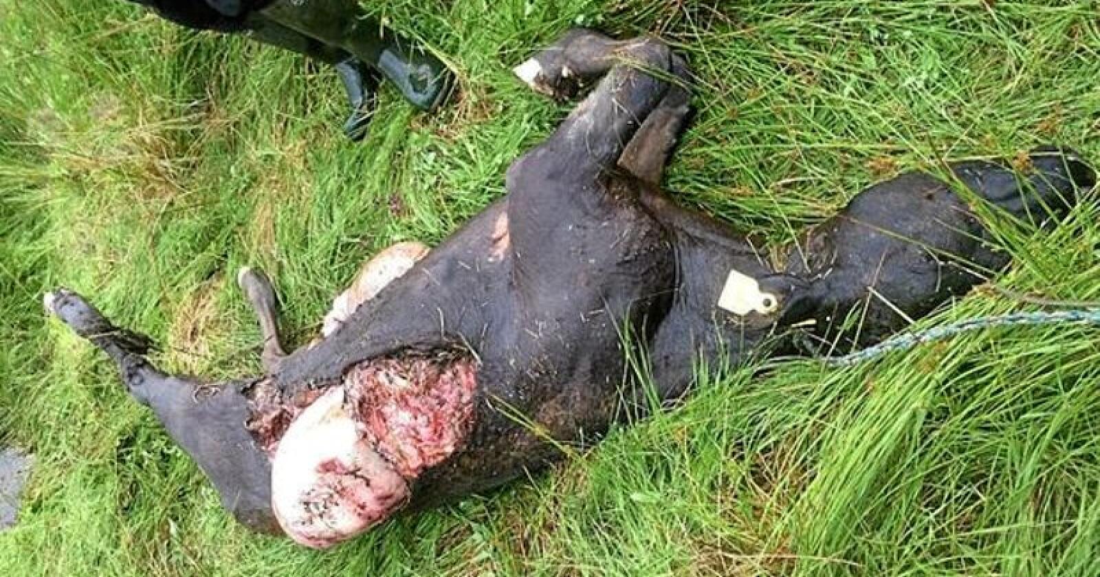 Den danske bonden Bo Christensen og sønnen hans fant kua slik på beite. Han tror det er en ulv som har drept kua. Foto: Bo Christensen