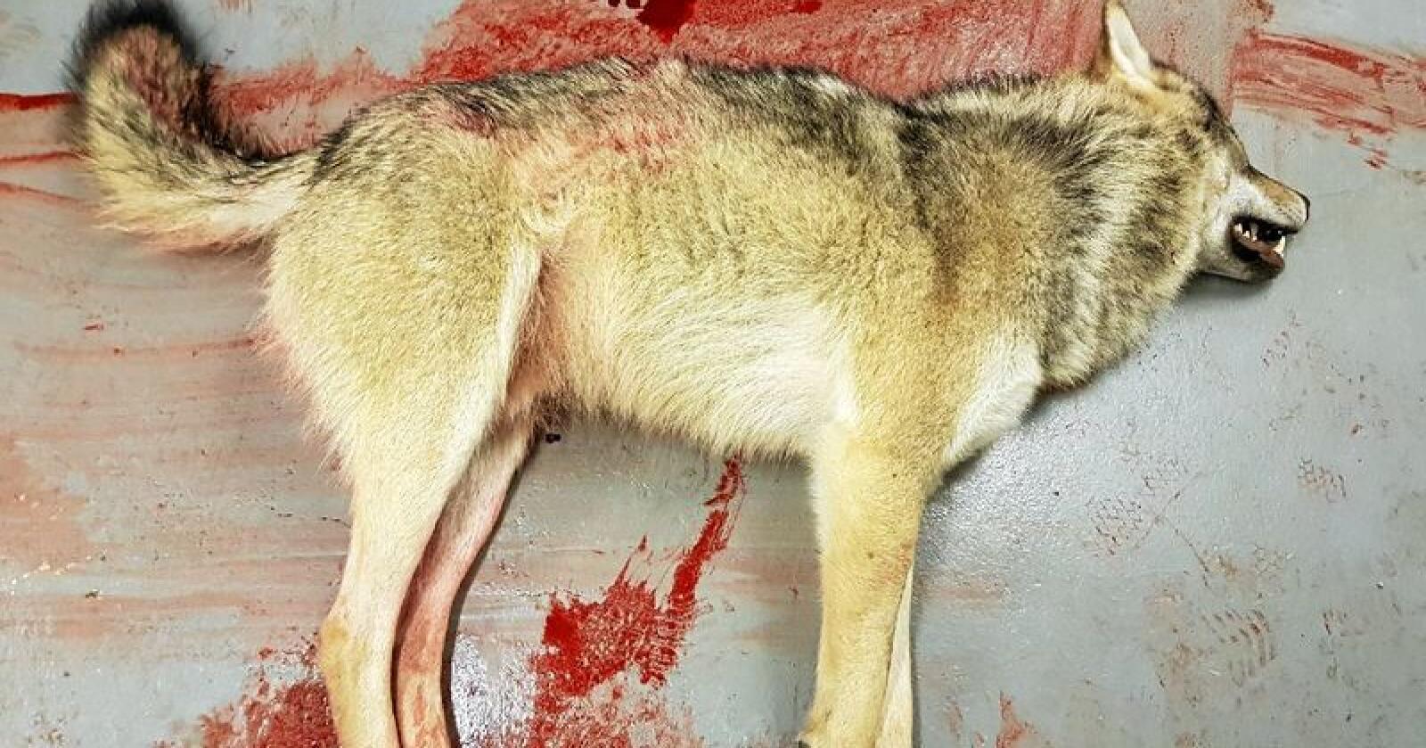 Ulven som ble felt i høstbeiteområdene til Skuohtanjarga reinbeitedistrikt i Karasjok kommune i Finnmark søndag. Foto: Privat