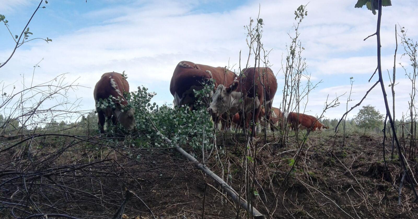 Alternative fôrkilder: Her spiser kyr løv fra et nedhogd tre på et ellers brunsvidd beite tørkesommeren 2018. Bildet er fra familiegården til skribenten. Foto: Synnøve Støverud Beitnes