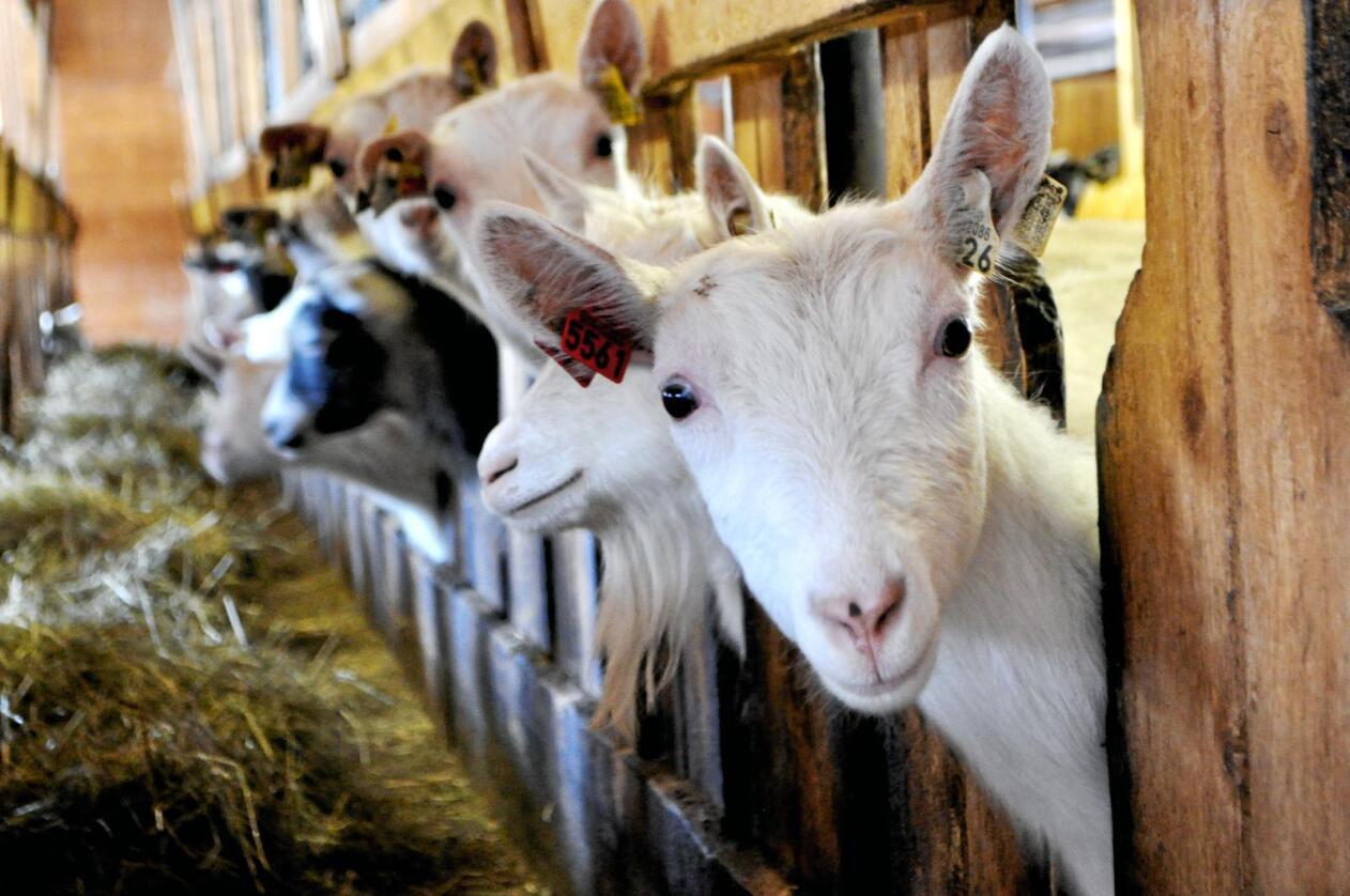 Ammegeit: Fleire lokale geitebønder, som Marit og Geir Helge Espeset i Valdres, har starta opp med rein kjøttproduksjon av geit. Foto: Hilde Lysengen Havro