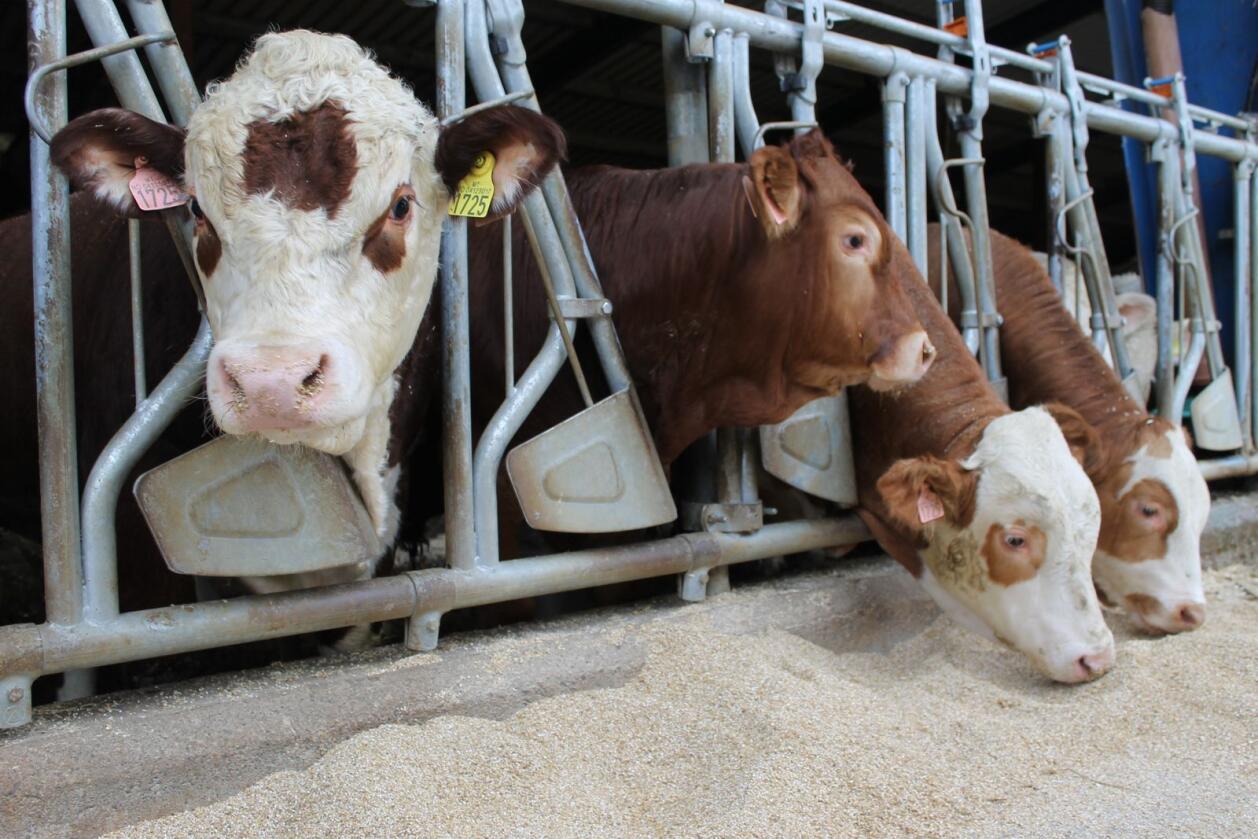 Alkaliske kornråvarer: Alkalisk korn blir trukket fram i rapporten fra Landbruksdirektoratet. Dette lages ved at norsk fôrkorn behandles med urea og enzymer, men en utfordring er prisen. Disse oksene får alkalisert korn. (Foto: Marit Glærum)