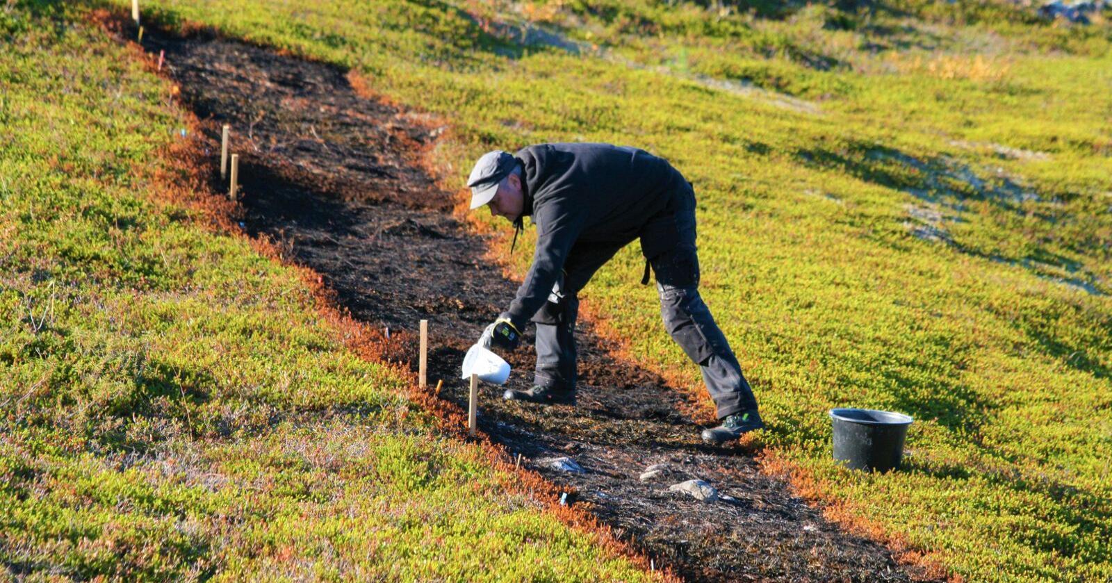 Kreklingjord kalkes for å øke jordas pH. Kreklingen har giftstoffer i bladene som skaper dårlige vekstvilkår for andre planter.Foto: Helena Klöckener)