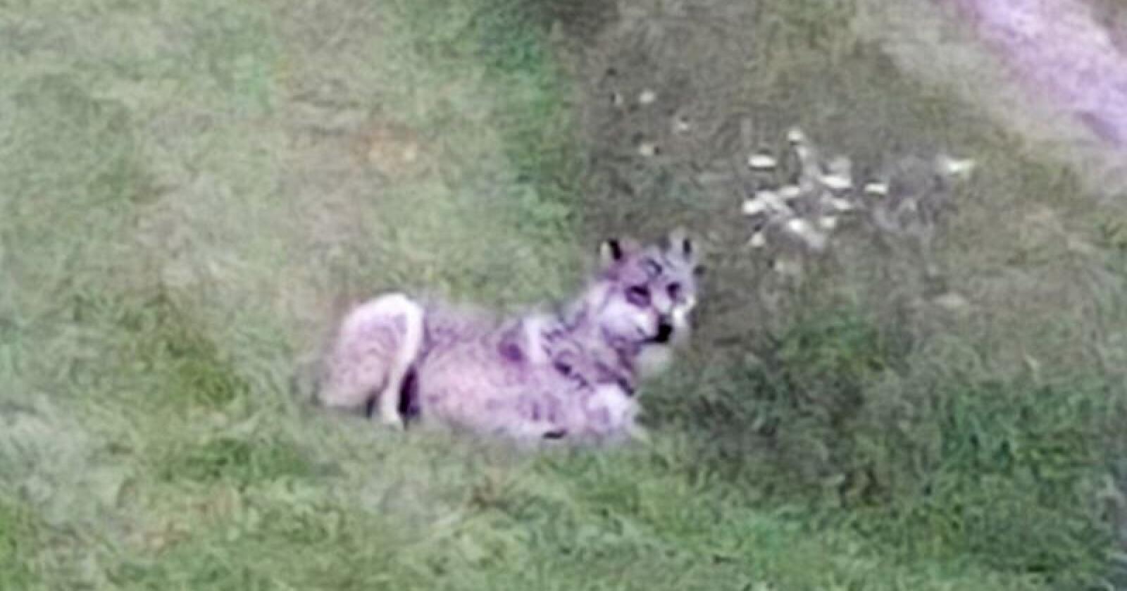 Denne ulven ble fotografert 400 meter fra Slettås sentrum tidligere i sommer. Foto: Ellen Haugsnes