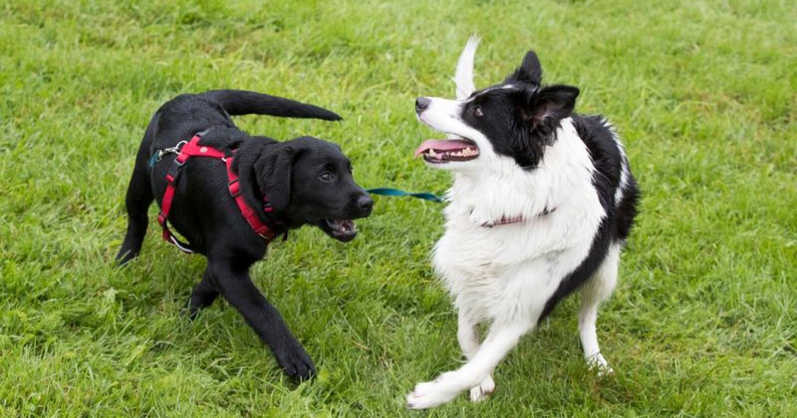 Hundesykdommen i Norge har skapt bekymring blant hundeeiere. Nå innføres det et nytt helseregister for dyr. Foto: Terje Pedersen / NTB scanpix