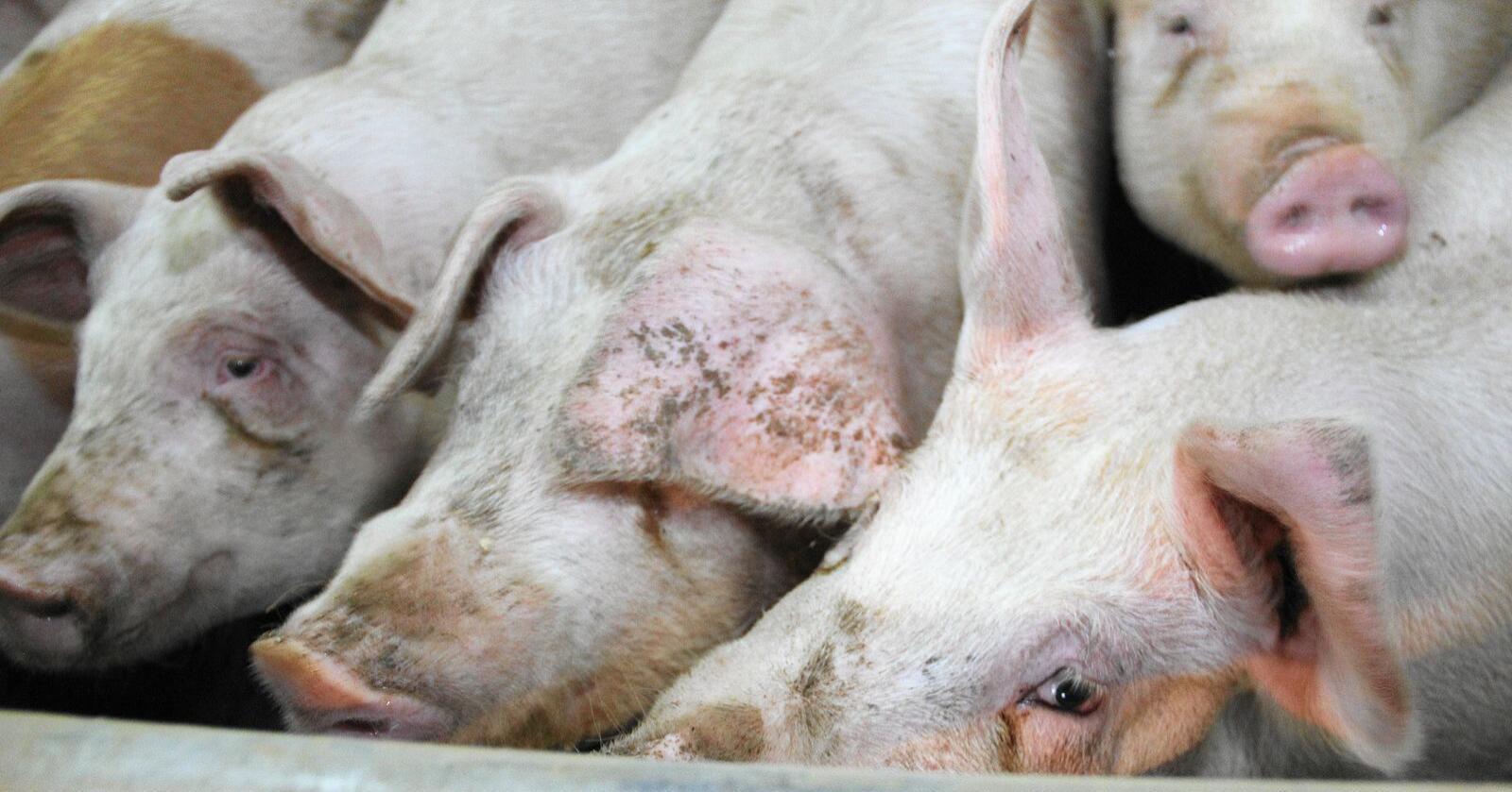 Griser som får påvist smitte av den antibiotikaresistente bakterien LA-MRSA må slaktes og grisehuset saneres. Foto: Ingjerd Sørlie Yri
