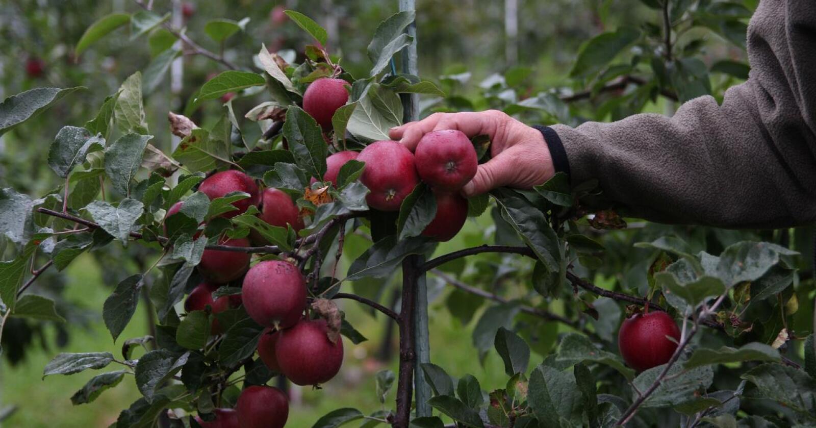 KOMPENSERES: For å risikoavlaste produsentene, videreføres erstatningsordninga fra i fjor, slik at avlingssvikt som følge av manglende arbeidskraft, blir kompensert. Foto: Kristin Bergo