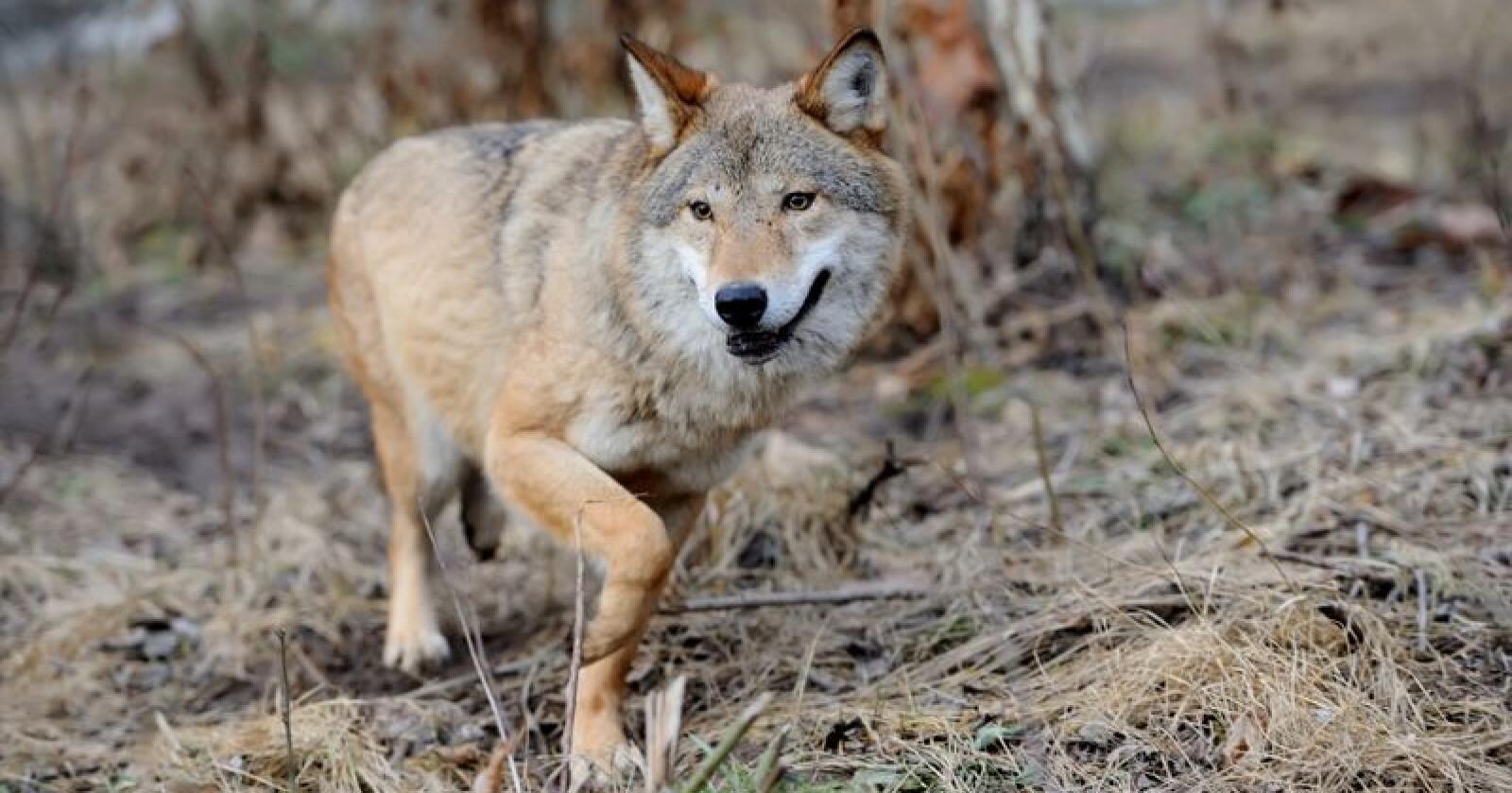 Ulven har skapt stor debatt i Danmark den siste tiden, etter at en mann er siktet for å ha skutt ulv. Foto: Colourbox