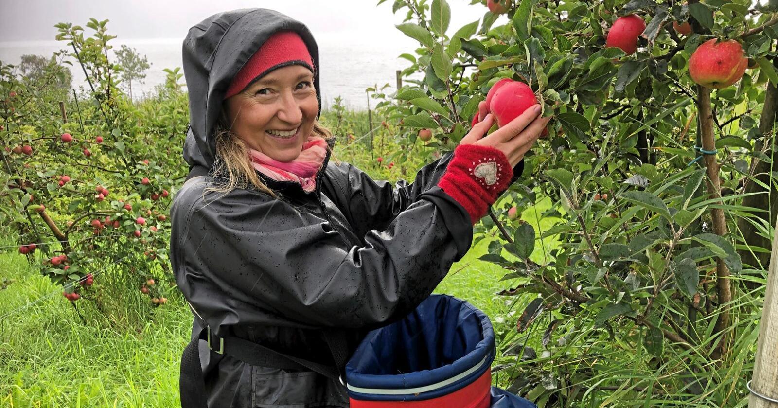 Fruktdyrkar Annhild Oma haustar discovery ein regnfylt dag ved Hardangerfjorden i Hordaland. Oma dyrker eple og plommer på begge sider av fjorden, vel 80 dekar totalt – 4500 epletre og 4200 plommetre. Foto: Kjersti Kildahl