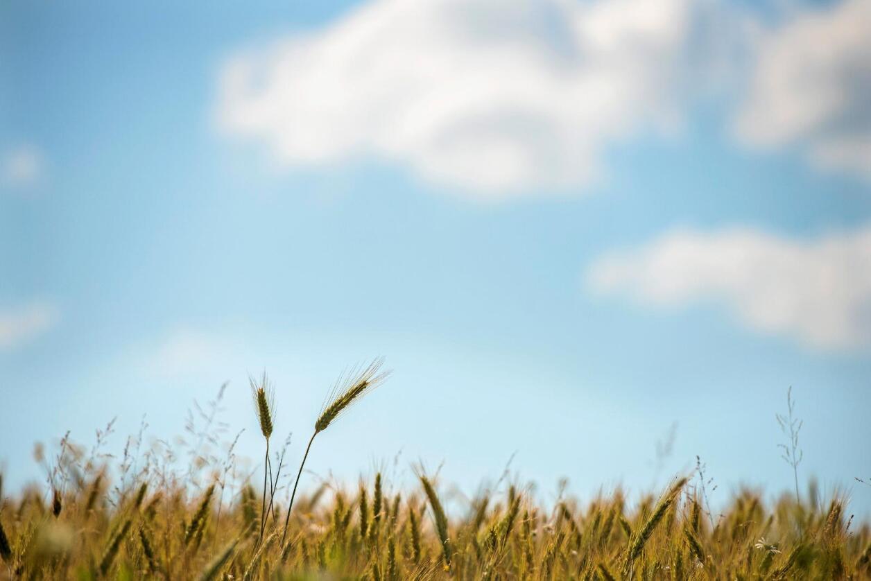 Tilskudd: I Norge har vi innrettet oss slik at du får økte tilskuddssatser om du legger om til økologisk produksjon. Størst er økningen i arealtilskudd i kornproduksjon der tilskuddssatsen nesten dobles, skriver spaltisten. Foto: Fredrik Varfjell/NTB scanpix