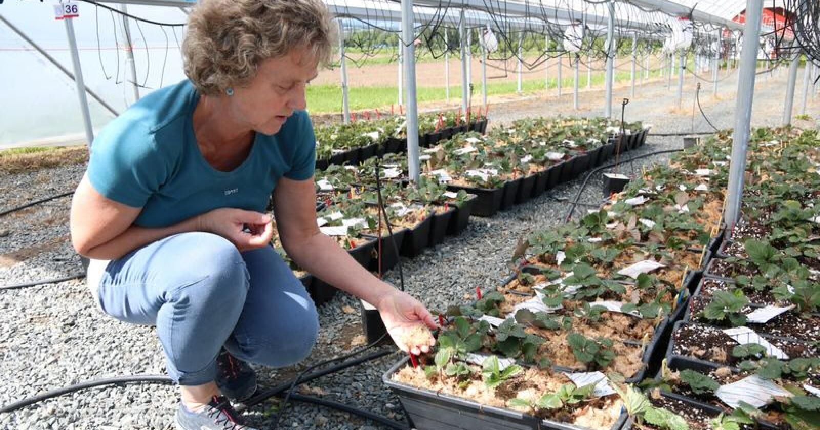 Hos NIBIO på Apelsvoll dyrkes det jordbær i et substrat av trefiber, forklarer seniorforsker Anita Sønsteby. Foto: Dag Idar Jøsan