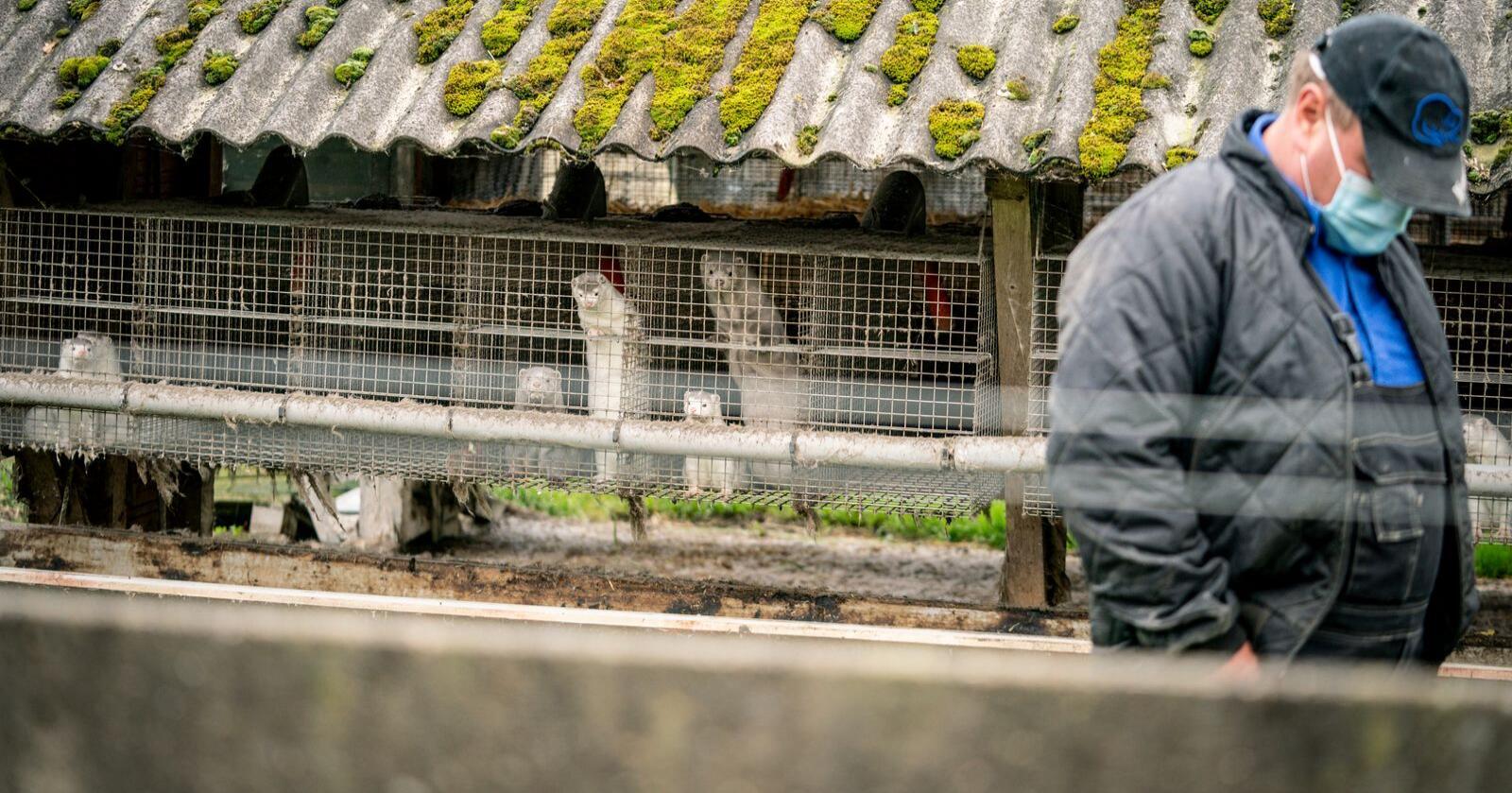 2,5 millioner mink er i ferd med å bli avlivet i Nord-Danmark. 100.000 mink blir avlivet om dagen, opplyser danske myndigheter. Foto: Mads Claus Rasmussen/AP
