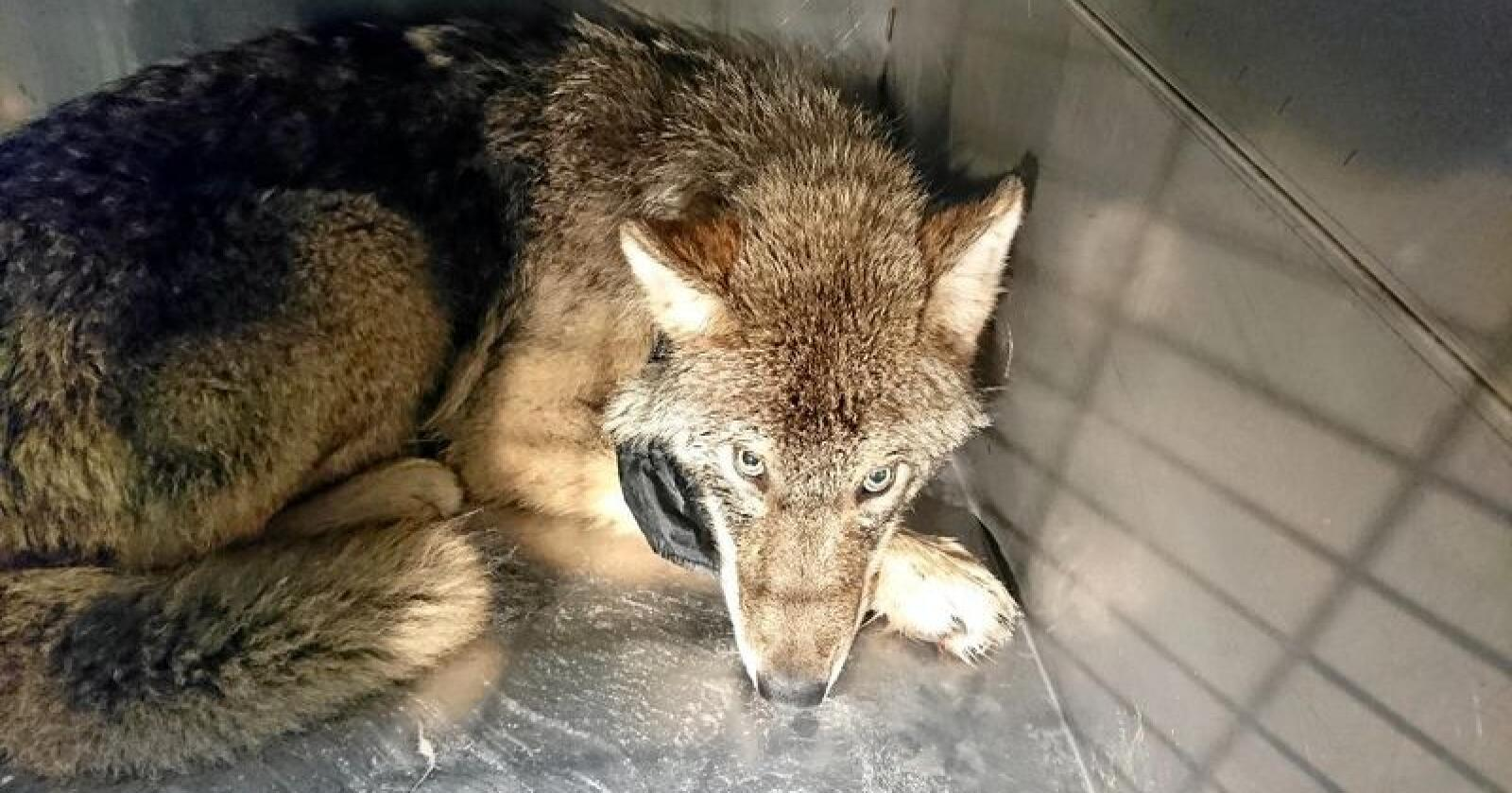 Ulven ble raskt tatt med til veterinær, der den fikk behandling. Ulven virker frisk og rask etter ulykken. Foto: Tarvi Markson