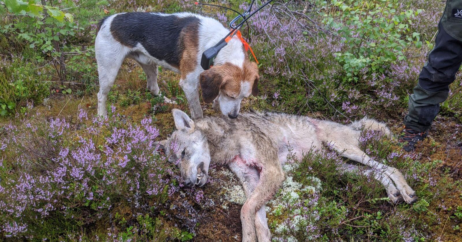 Denne hunden har bidratt til å gjøre jakten på ulv mye mer effektiv. (Foto: Skadefellingslaga i Nord-Østerdal)