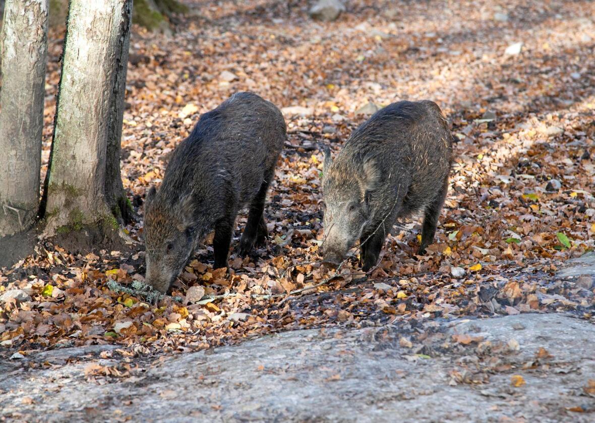 Villsvin vander over grensen fra Sverige, men er uønsket i norsk natur, som mange andre arter. Men hvor er kontrollen med fremmede arter? Roger Tillberg / Colourbox