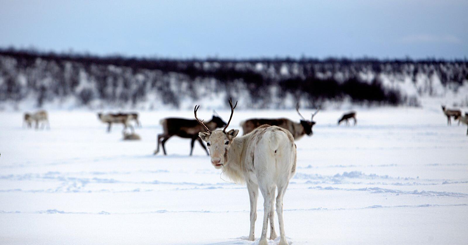 Ein normal snøvinter, som denne på biletet, kan reinen sparke seg gjennom snøen for å finne mat. I vinter har store snømengder ført til fôrkrise for reinen fleire stader i Nordland, Troms og Finnmark. Foto: Stian Lysberg Solum / NTB scanpix