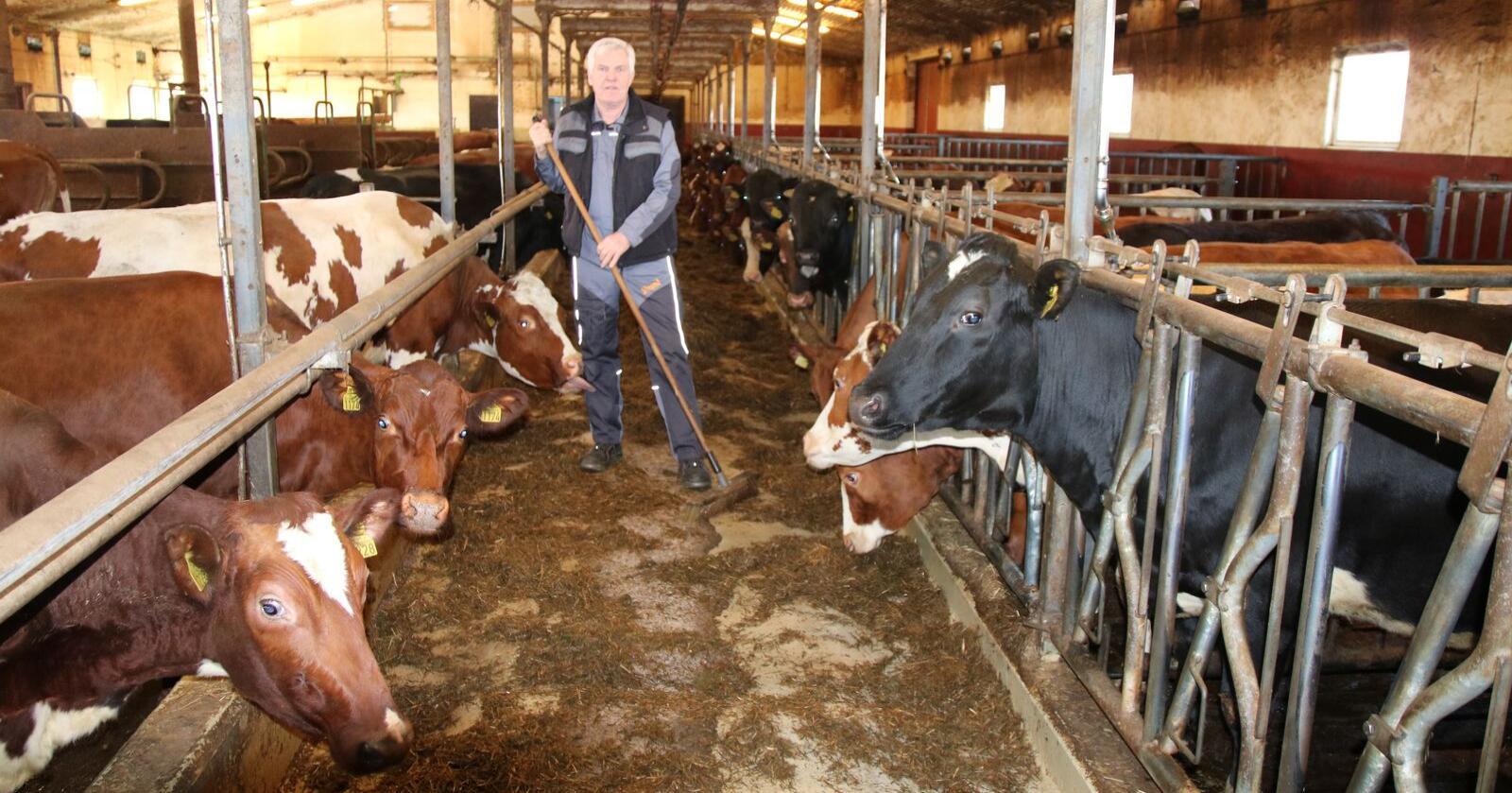 – Jeg vurderte helt seriøst å sende dyra til slakt. Kyr som havner på slakteriet driter ikke, sier Torgeir.