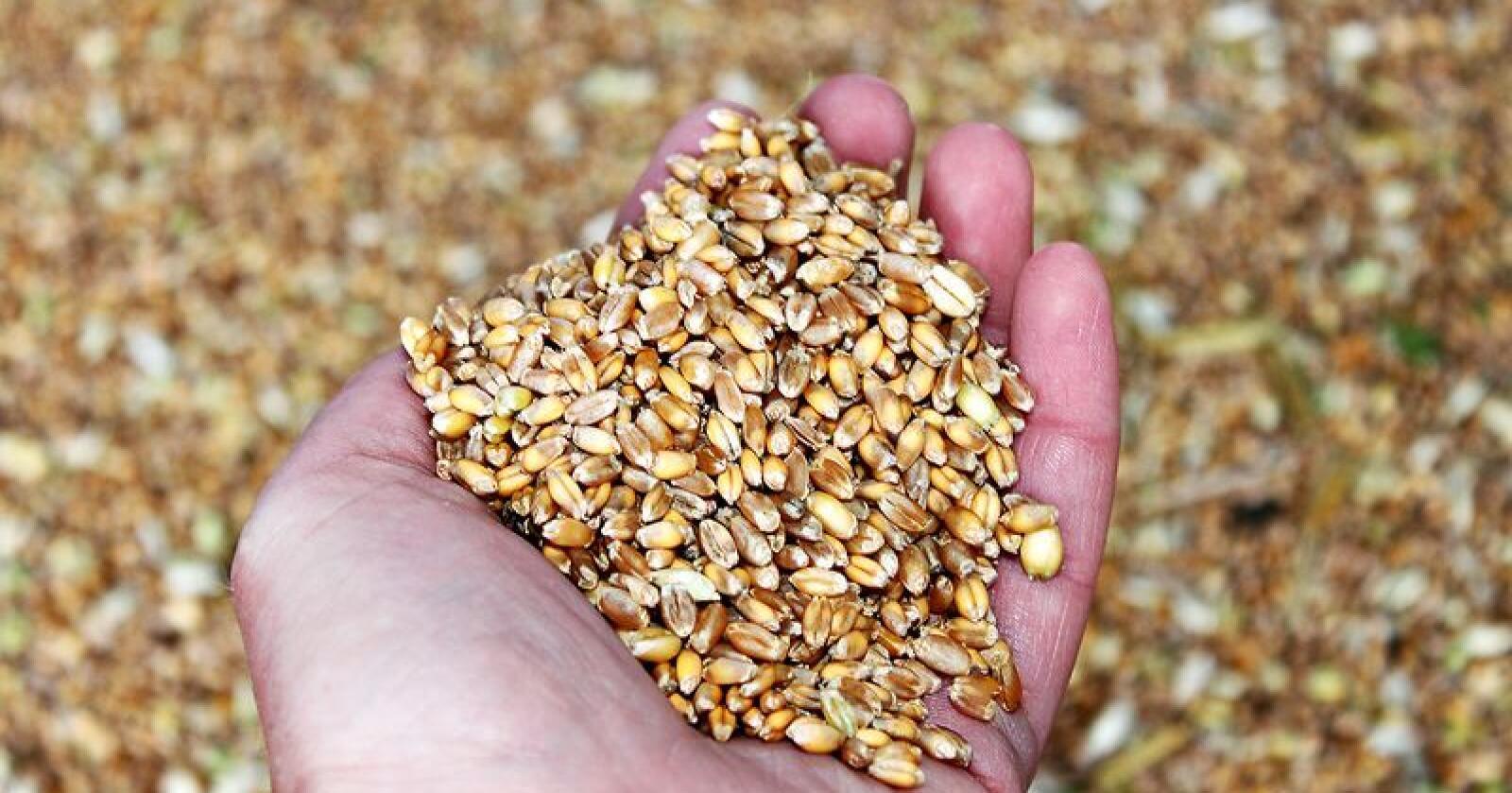 Voksne amerikanere får bare i seg 16 gram fiber i maten, mens de egentlig skulle hatt minst 25 gram om dag. Med en ny genmodifisert hvetevariant vil bioteknologiselskapet Calyxt gjøre noe med det.