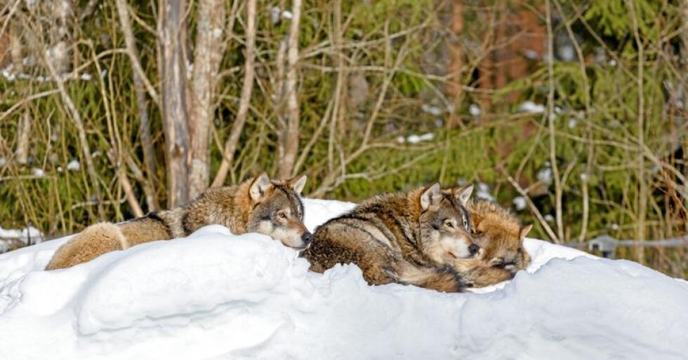 Disse ulvene er fotografert i Ähtäri Zoo i Finland. Foto: Ninara@Flickr.com (CC BY 2.0)