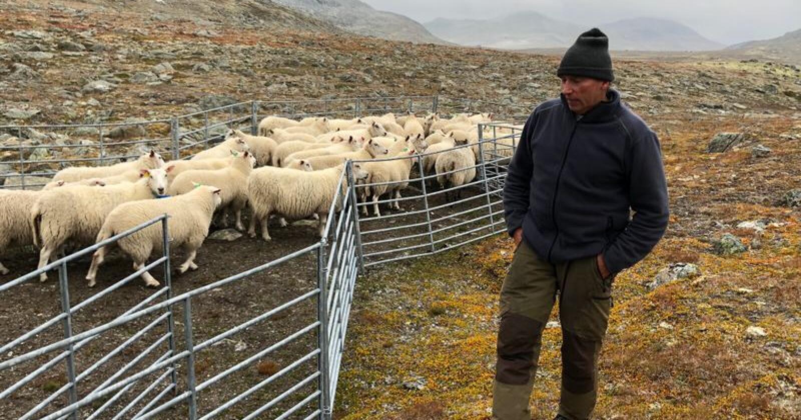 Terje Svisdal har 450 vinterfôra sauer. – Vi sauebønder er flinke til å produsere volum, all den tid det har vært stordriftsfordeler. Det er lettvint å produsere mye nå, siden færre holder på, sier Svisdal. Foto: Knut August Svisdal