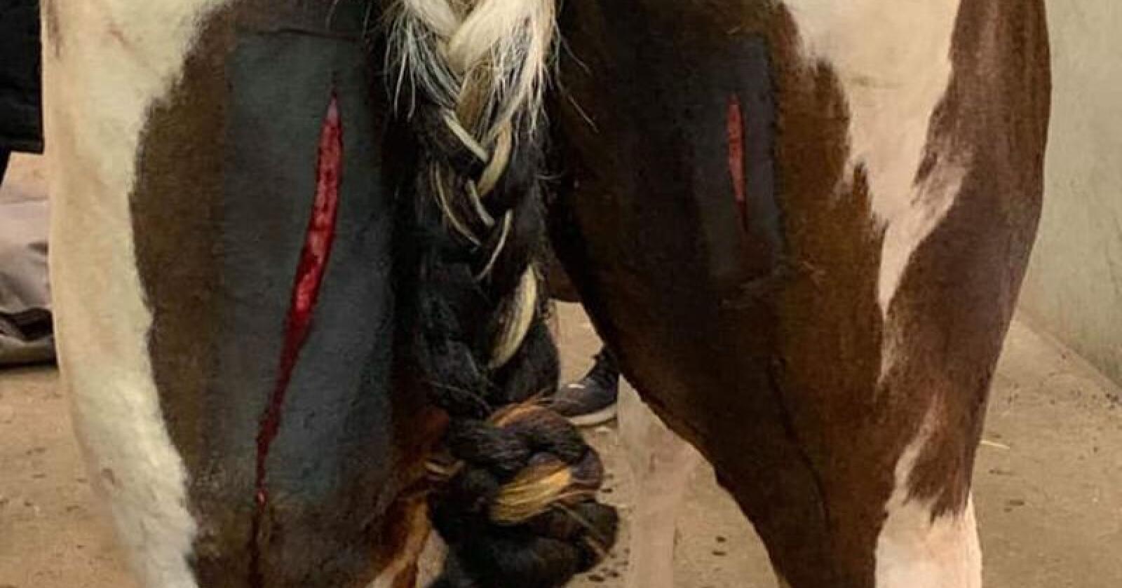 Den tre år gamle hesten Keso ble skåret flere steder på kroppen med kniv. Foto: Privat