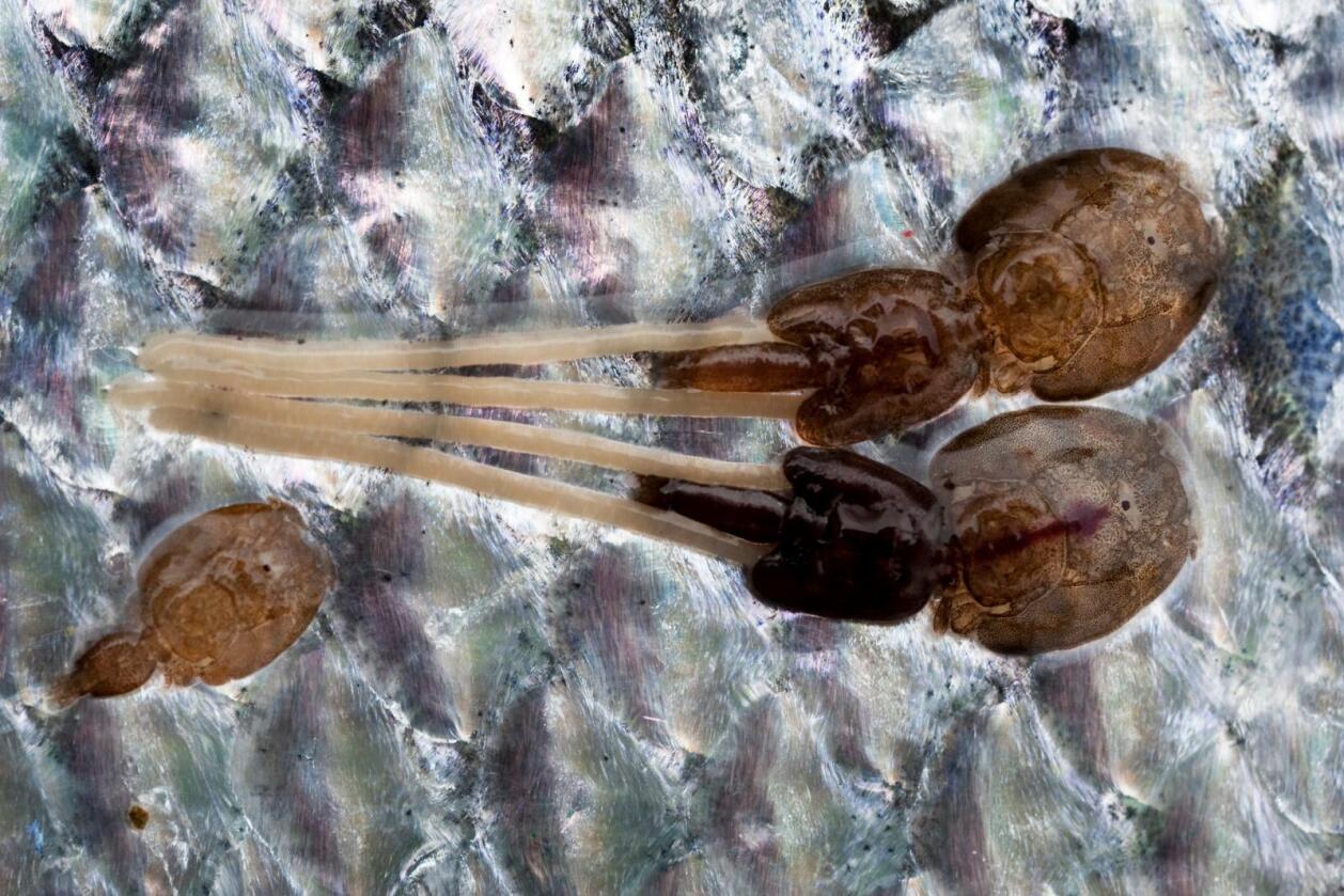 Det er blitt mindre av den forhatte lakselusa i norsk oppdrettslaks, men fortsatt dør det mange fisk. Trolig er en årsak at immunforsvaret svekkes av den tøffe mekaniske lusebehandlingen. Foto: Marit Hommedal / NTB SCANPIX