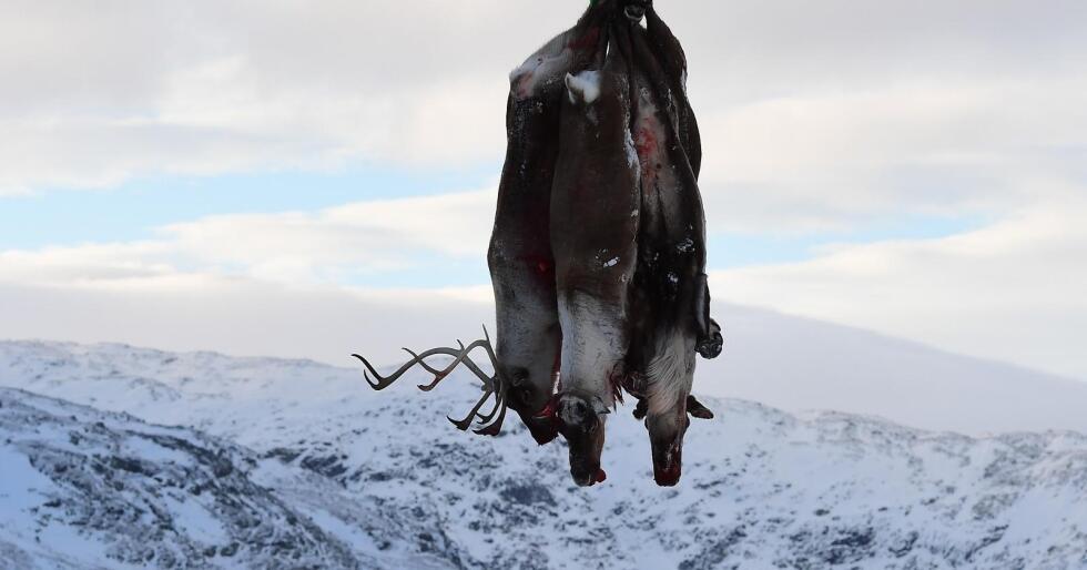Reinen på Breistølen i Lærdal kommune skal felles pga skrantesjuke. Foto: Marit Hommedal / NTB scanpix