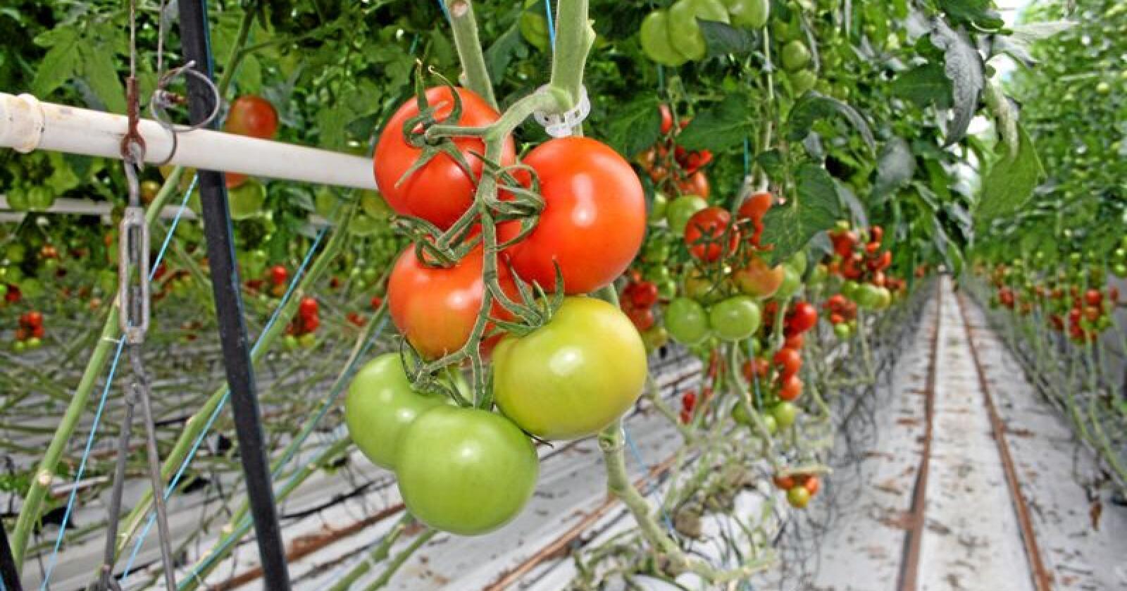 Grøntnæring: Det er rom for å øke norsk grøntproduksjon, men vi må ha politikerne med oss, skriver kronikkforfatteren. Foto: Bjarne Bekkeheien Aase