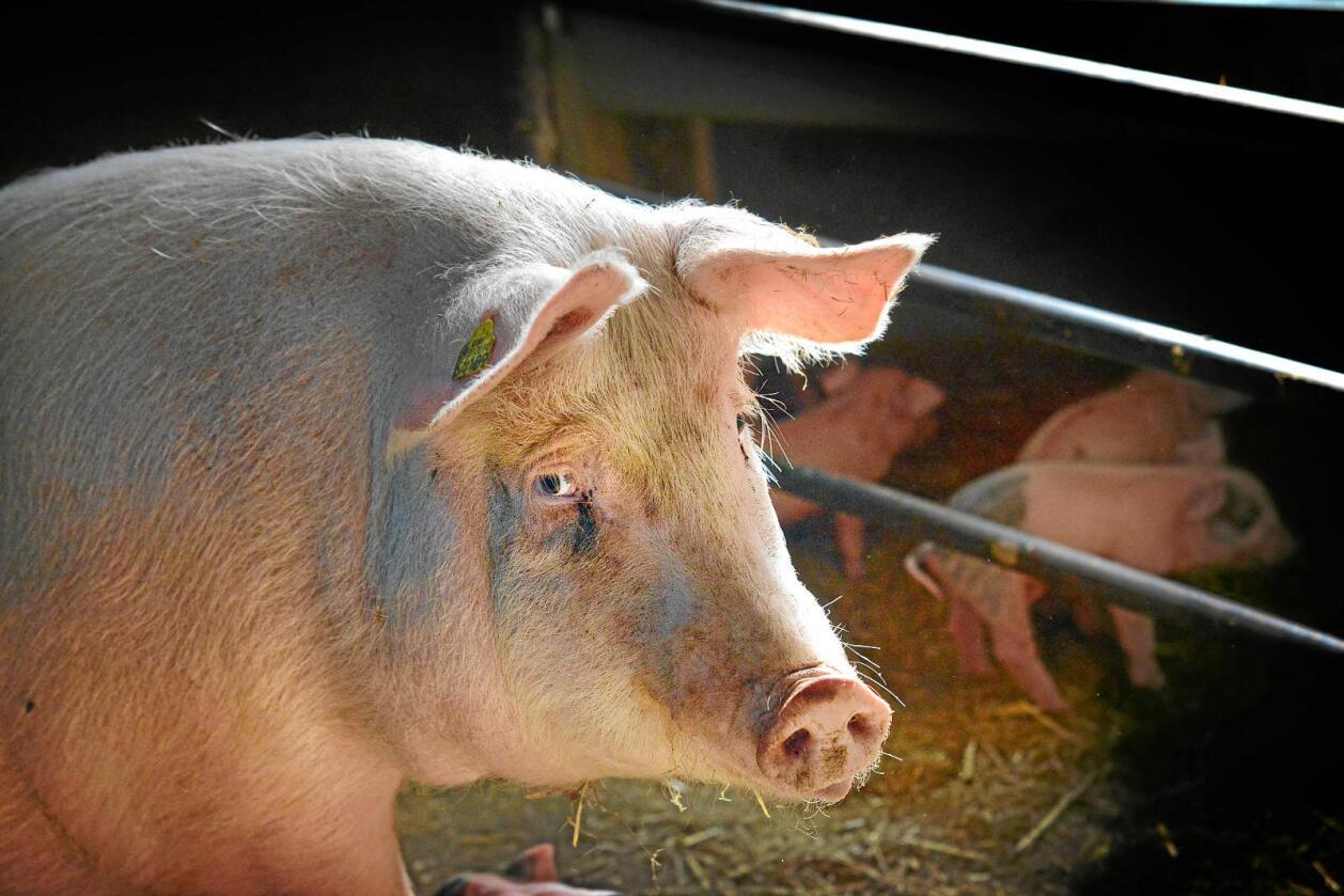 Bønder som utmerker seg på dyrevelferd bør belønnes, skriver innsenderen.  Foto: Siri Juell Rasmussen