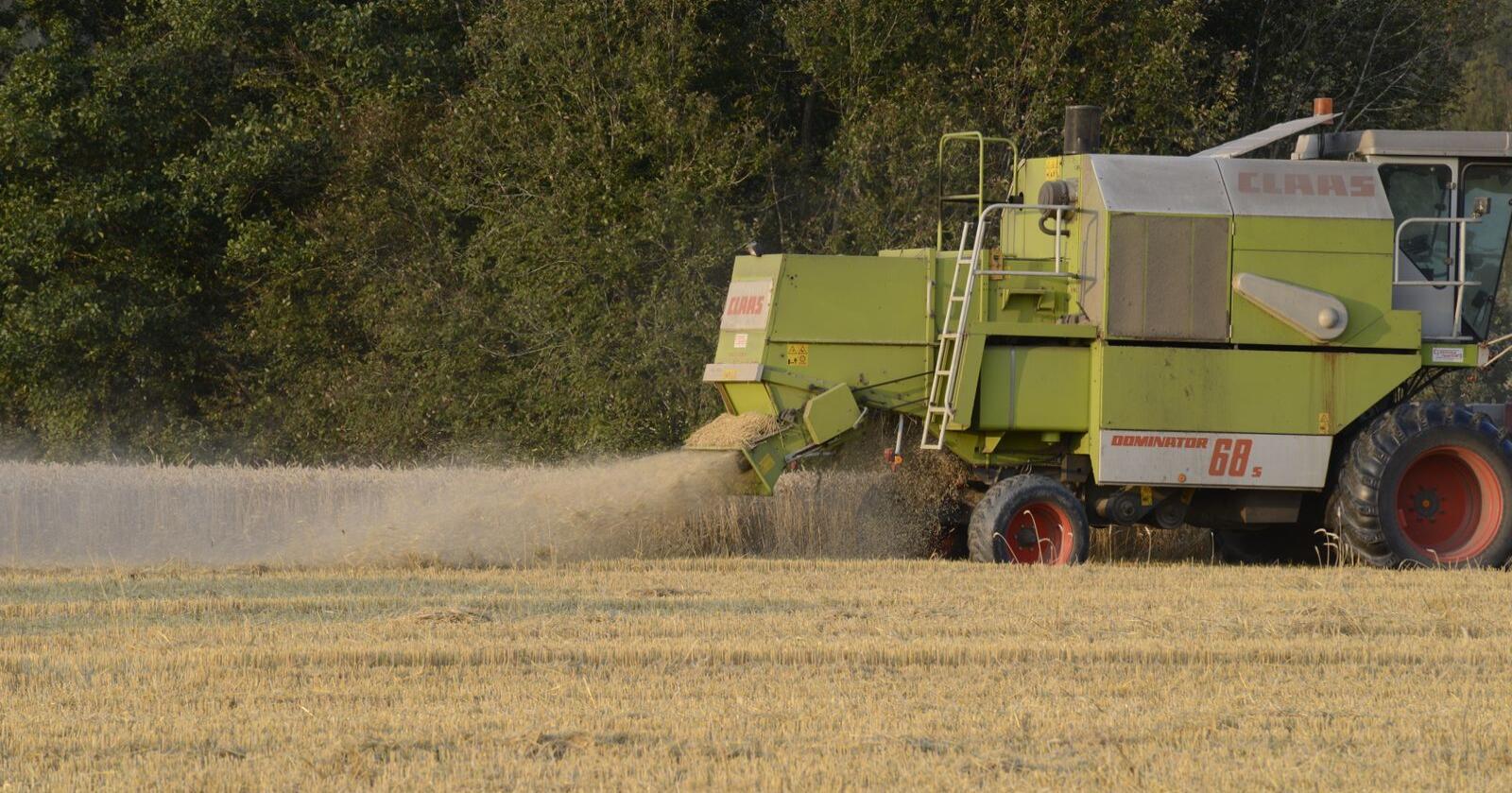 Én av måtene for å øke karbonfangsten, er å så raigras sammen med kornet. Tanken er da at graset ikke skal ha vokst alt for mye før kornet har blitt treska. Foto: Mariann Tvete