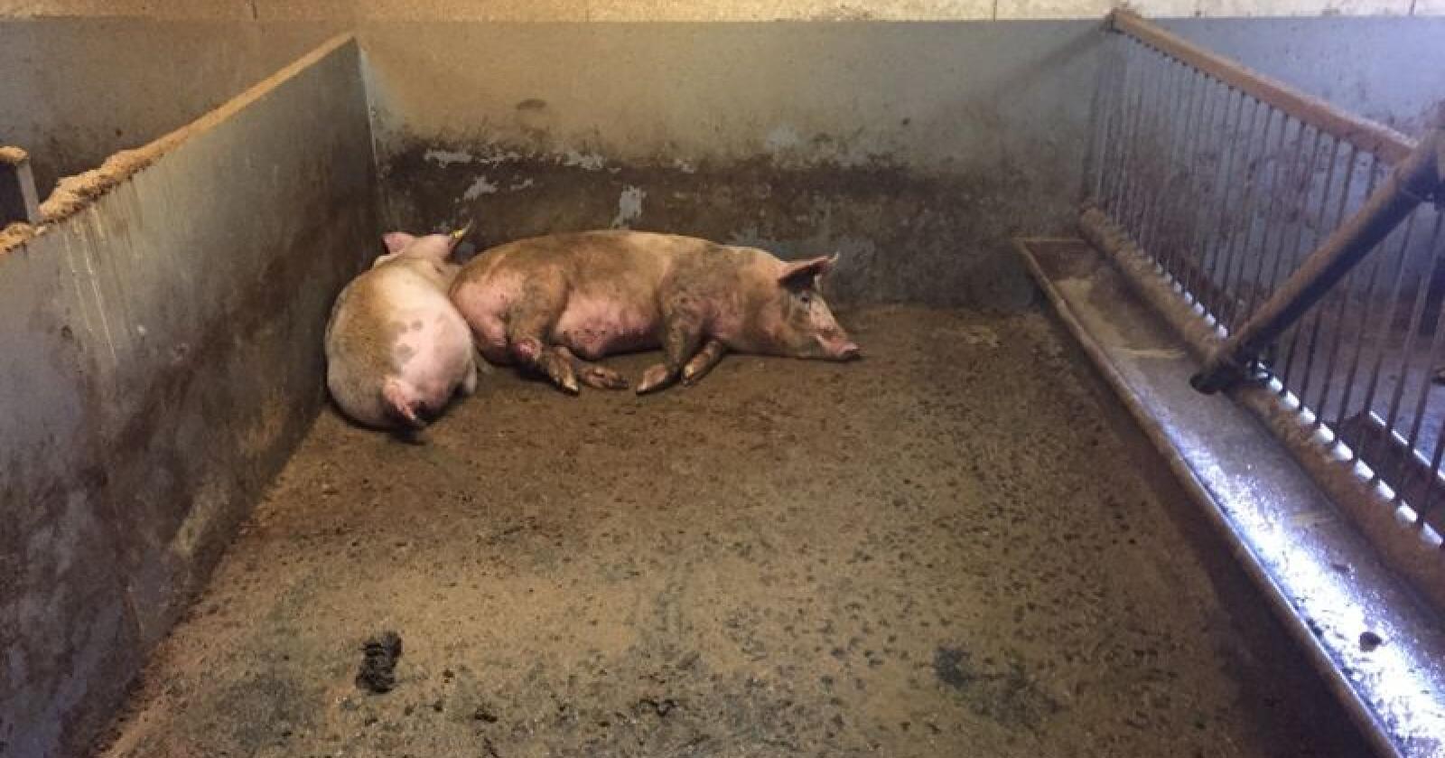 En bonde i Oppland ble dømt til 21 dagers fengsel for møkkete griser. Foto: Mattilsynet
