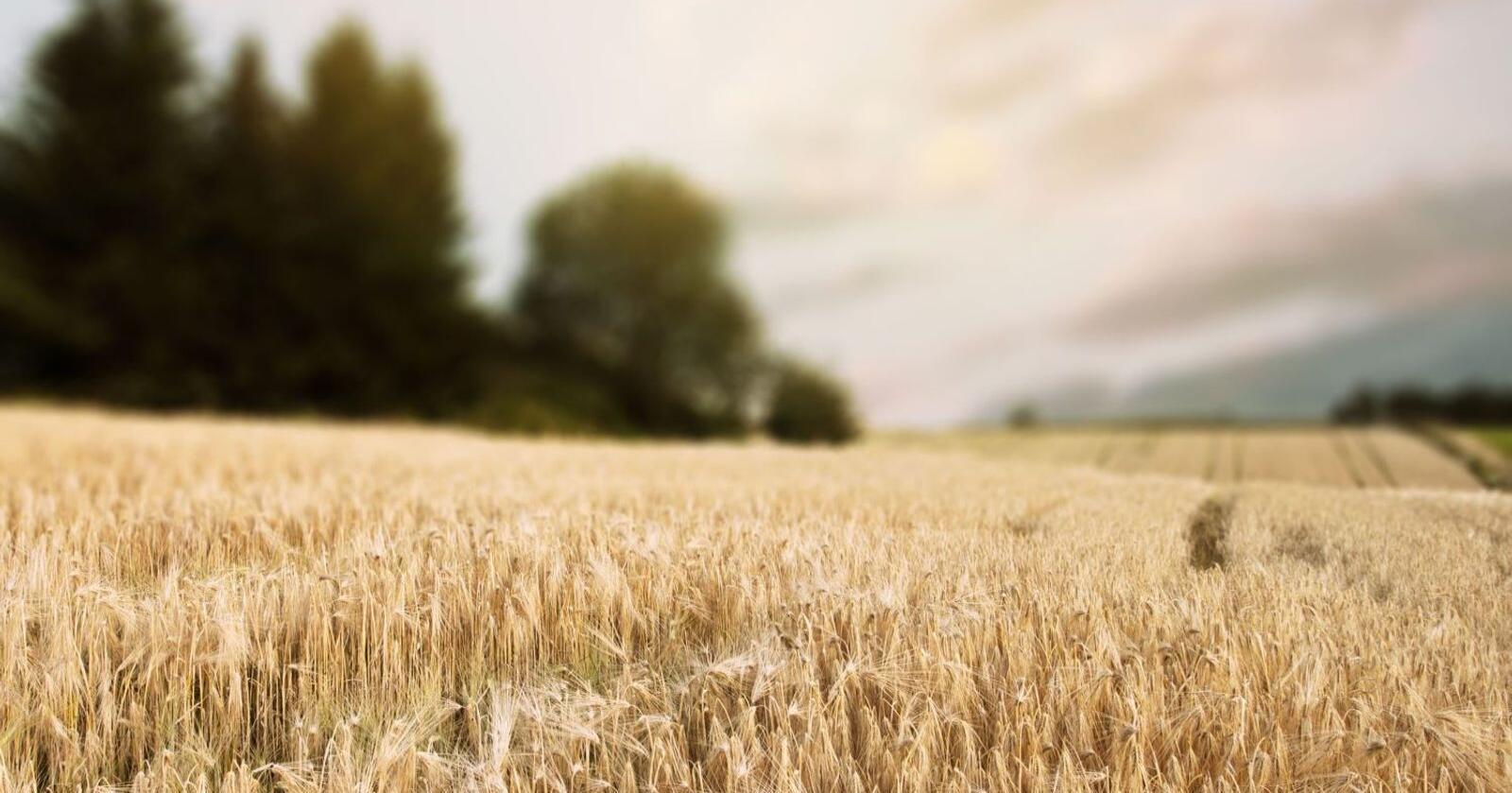 Lystgass utgjør en tredjedel av det totale klimagassutslippet fra matproduksjon. Utslippene skyldes i hovedsak bruken av kunstgjødsel.Foto: millicookbook / Shutterstock / NTB