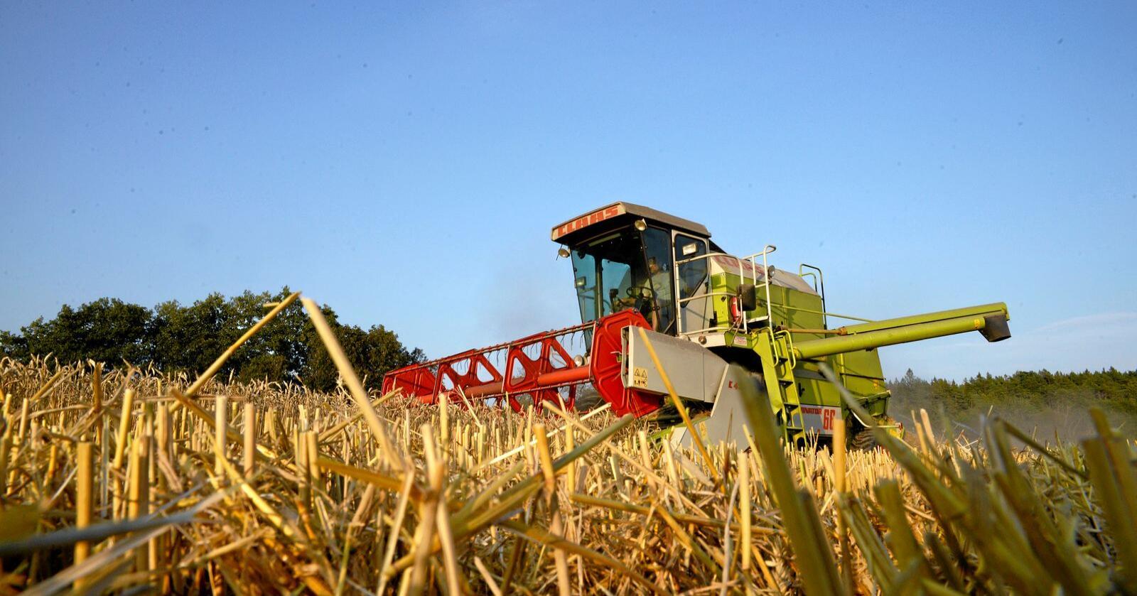 Korn: Kronikkforfatteren skriver at kornbonden må styrkes. Foto: Mariann Tvete