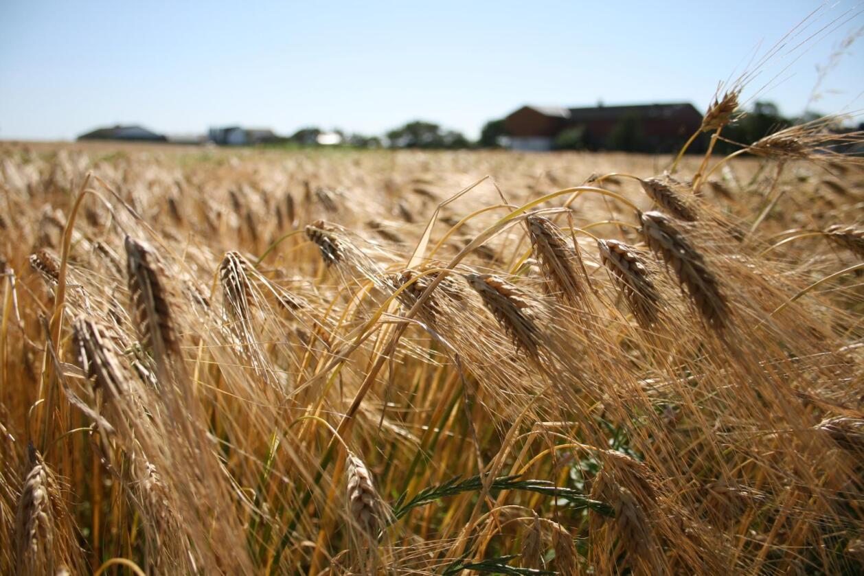 Det er knyttet spenning og noe usikkerhet til den kommende kornsesongen i Norge. Foto: Bjarne Bekkeheien Aase