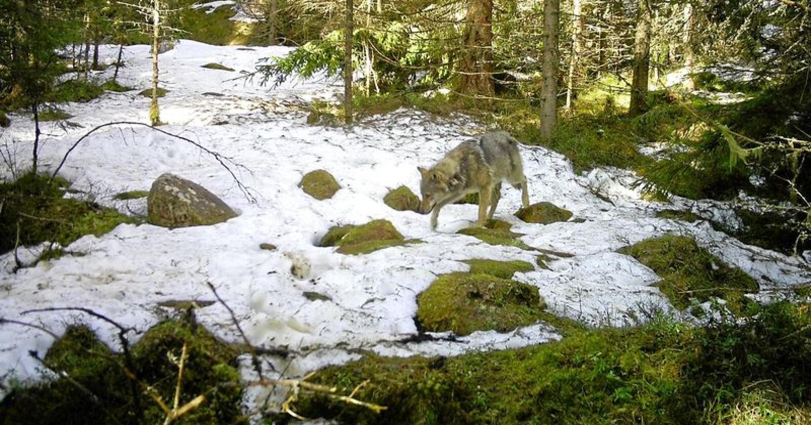 Denne ulven ble fanget på viltkamera i beiteprioritert område sørvest i Grue kommune i slutten av april.
