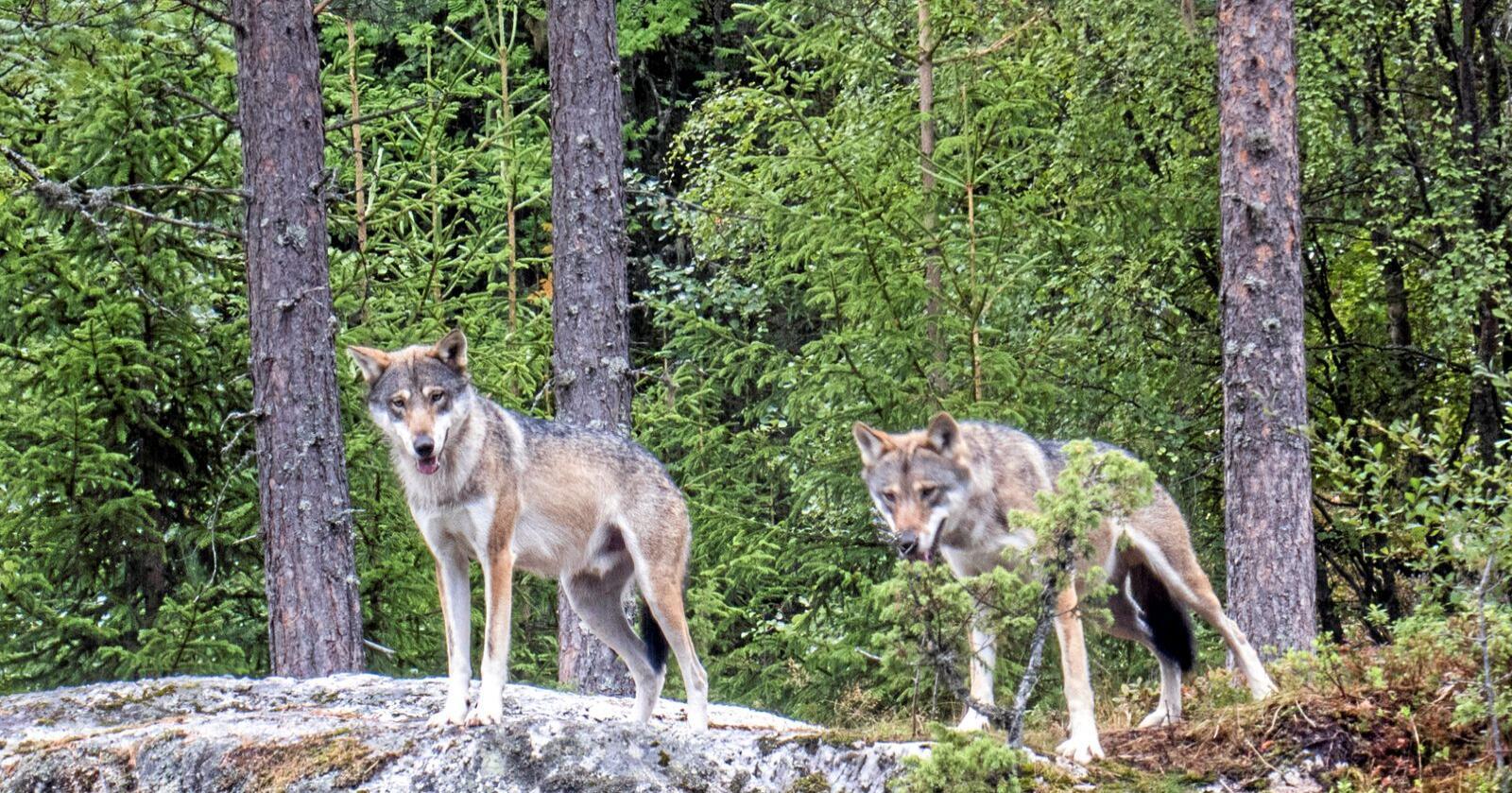 Diskusjonen om ulv har utviklet seg til en arena der det kun er plass til to skyttergraver. Til gjengjeld er de dype. Her er ulv fotografert i Bjørneparken i Flå. Foto: Paul Kleiven / NTB