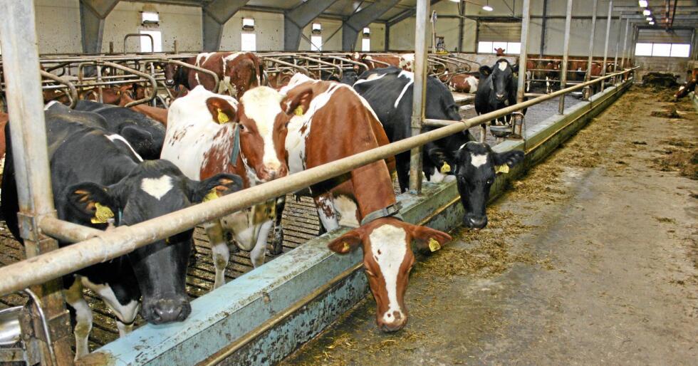 Mjølketurbulens: Kuttet i mjølkeprisen som Tine varslar frå nyttår kjem på toppen av kutt i mjølkekvotane og auka omsetningsavgift etter forbod mot eksportstøtte, som er venta å koste milliardbeløp for næringa. Foto: Bjarne Bekkeheien Aase