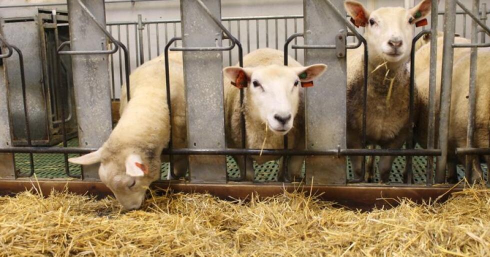 Slakter du fjorårslammene før 1.mars får du tilskudd til lammeslakt. Tar du vare på dem til over telledatoen 1.mars, kan du få husdyrtilskudd. Hva som lønner seg, avhenger av hvor mange dyr du har i fjøset. Foto: Marit Glærum
