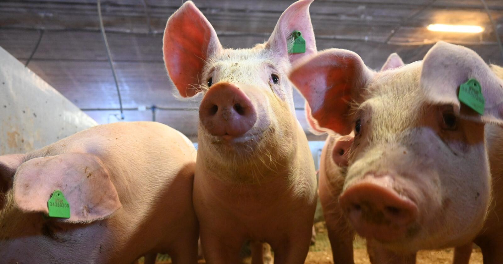 Fra målpris til volum: I årets tilbud foreslår staten å overføre svinekjøtt fra målprismodellen til volummodellen. Endringen vil ha virkning fra 1. juli i år. (Foto: Marit Glærum)