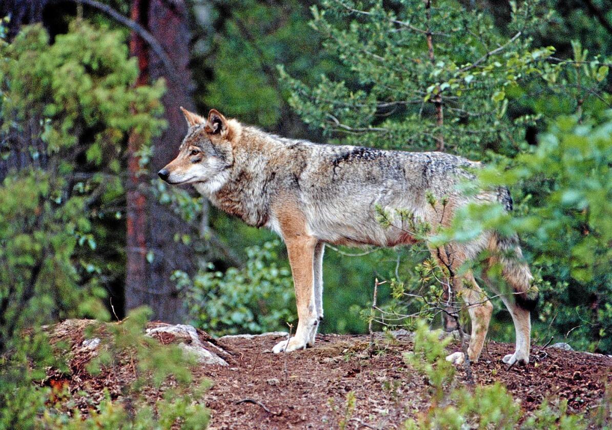 Øker: Antall ulver. Foto: NTB scanpix
