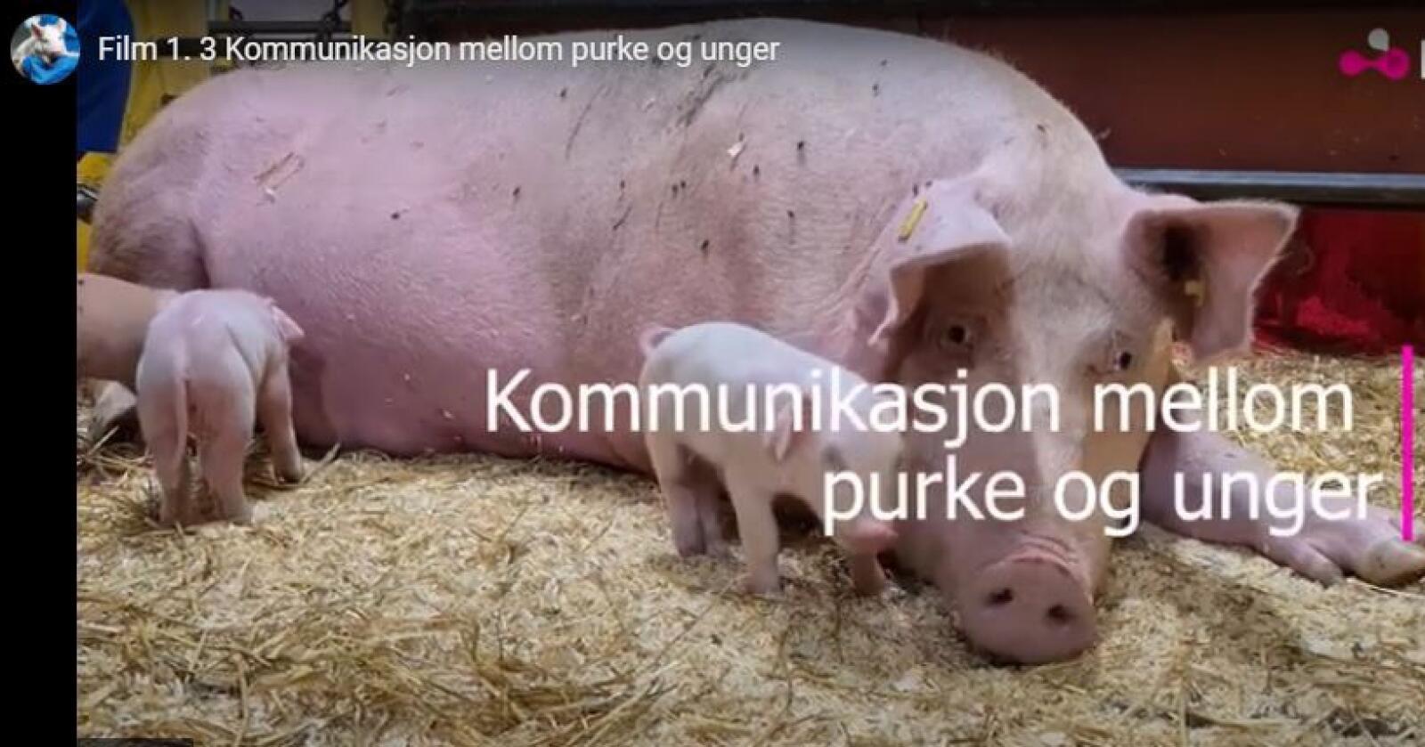 Skjermbilde studiekurs Norsvin