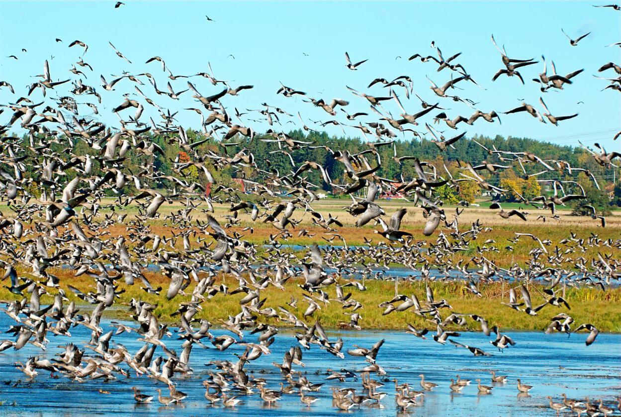 Store flokker: 600-700 grågås som slår seg ned på et jorde, er ikke uvanlig. Foto: Stefan Berndtsson / flickr